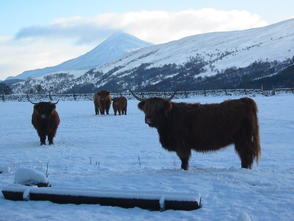 Highland Cattle Rannoch Moor